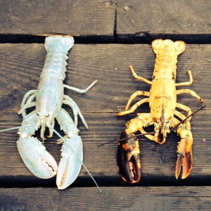 Extremely rare split-colored lobster caught off Maine