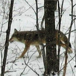 """an analysis of the characteristics and behavior of the coyote in north american canids Comment on """"whole-genome sequence analysis shows two endemic species of north american wolf are admixtures of the coyote and gray wolf."""