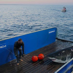 Mary Lee The Great White Shark Is Back