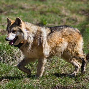 Canis lupus 101 annual mexican wolf population survey for Wmat game and fish