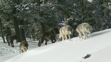 UPDATE: Oregon kills two more wolves from Pine Creek Pack, authorizes killing of one more