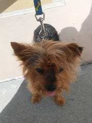 This Yorkie is missing from 17th Street SW in Golden Gate estates.