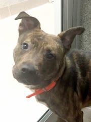 Foxy is a 9-month-old pitbull mix who came into the