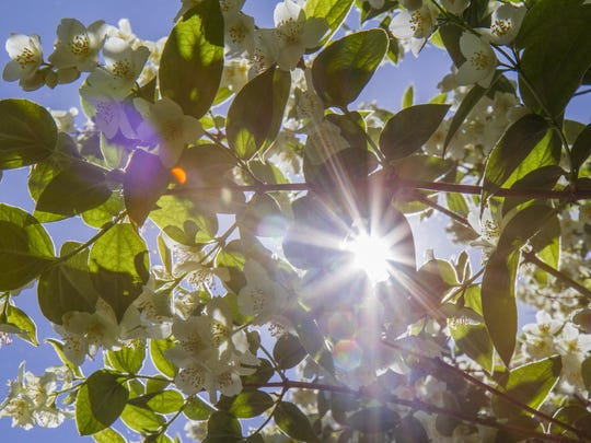Sunlight pours down through one of the two massive mock orange trees in Betty Routan's yard.