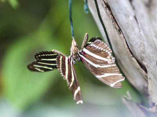 Two Zebra Heliconian butterflies rest together in the sun inside the conservatory. The Zebra Heliconian is the state butterfly of Florida. The Butterfly Estates will be releasing butterflies downtown in honor of wounded warriors on the July 4th holiday.