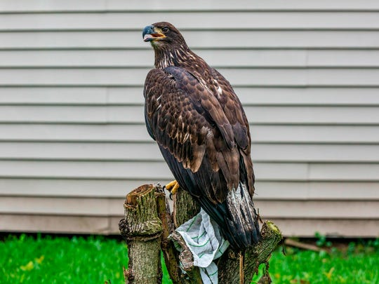 A young injured bald eagle sits in a yard in Metairie, La., on May 10. The eagle could barely fly and was taken the next day to the Louisiana State University School of Veterinary Medicine's Wildlife Hospital in Baton Rouge.