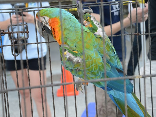A macaw hangs from its cage during Saturday's pet amnesty day at Wickham Park Pavilion