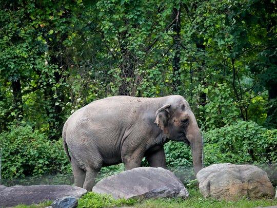 Bronx Zoo elephant Happy strolls inside the zoo's Asia Habitat in New York.