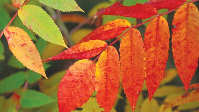 Smooth Sumac, Fall Foliage Smooth sumac leaves are feather-compound, 12-16 inches long, with 15-23 coarsely-toothed leaflets. The central leaf-stem is smooth and lacks wings. Leaves turn red in fall.