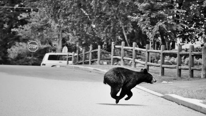 This black bear was spotted roaming the streets in Peekskill in 2013. On Tuesday there were reported black bear sightings in Yonkers, Ramapo and Suffern.