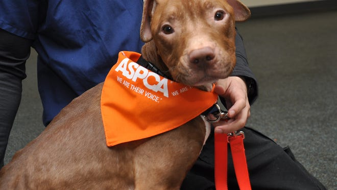 Officers from the NYPD found this pit bull mix, now named Fraggle, zipped inside a suitcase in the south Bronx.