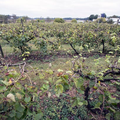 """The vineyards of Turtle Run Winery """"have the fifth"""