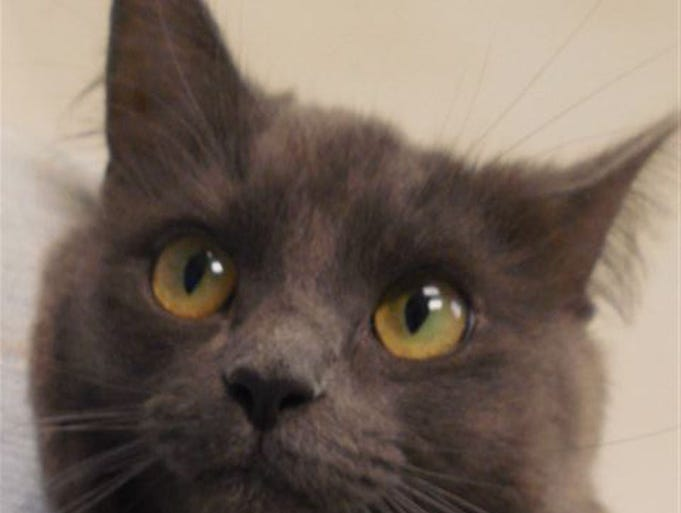 Leia, 1, dark blue gray, fluffy, spayed, loves attention, if you sit down, are wearing jeans, the knee is an immediate scratching post for Leia, demanding you notice her. She will hold onto your knee until you do. Friendly, alert, lots of personality.