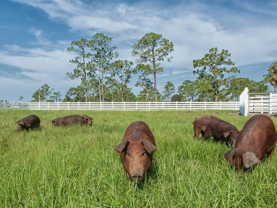 Red Wattle Pigs root through the serene pastures of Rosy Tomorrows Heritage Farm. Visit them, along with other farm residents, during lunch on Wednesdays.