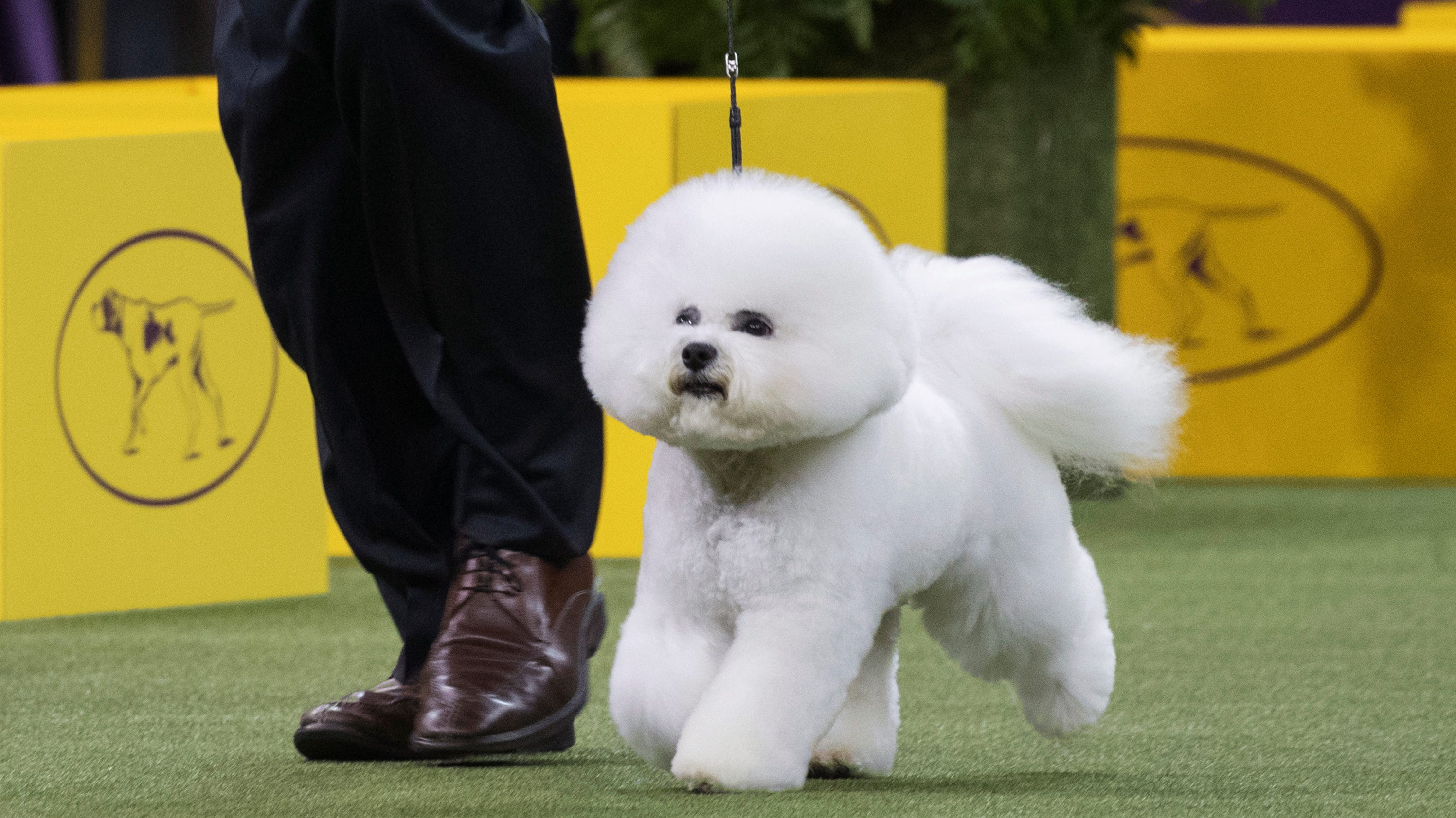 Who Won The Westminster Dog Show