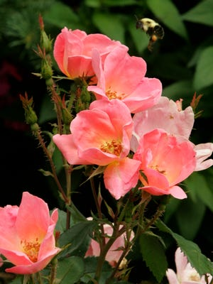Bill Radler, of Greenfield, developed the Rainbow Knock Out rose, as his second hybrid Knock Out rose. The Double Knock Out was his first.