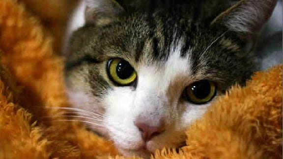 Emilo is a docile cat looking for a quiet home.