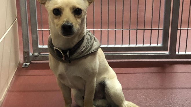 Poncho is a male, smooth-coated yellow Chihuahua. The shelter thinks he's about 4 years old.