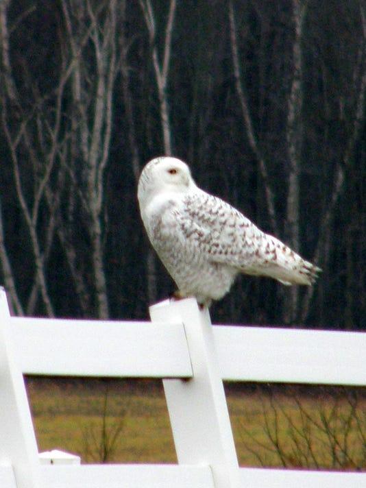 635858618428860600-snowy-owl2.jpg