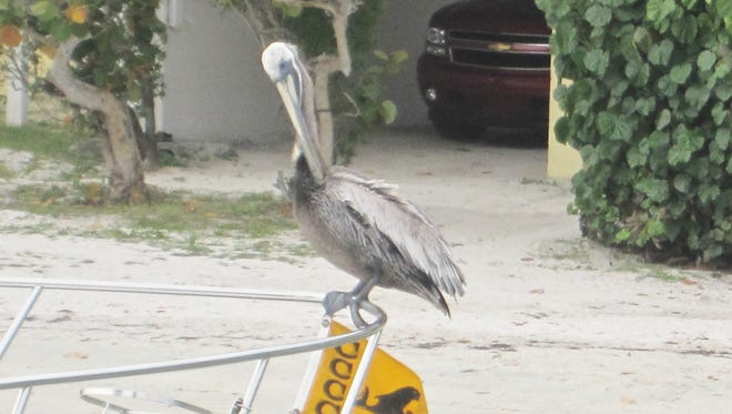 A pelican preens on the bow rail of a member's boat.