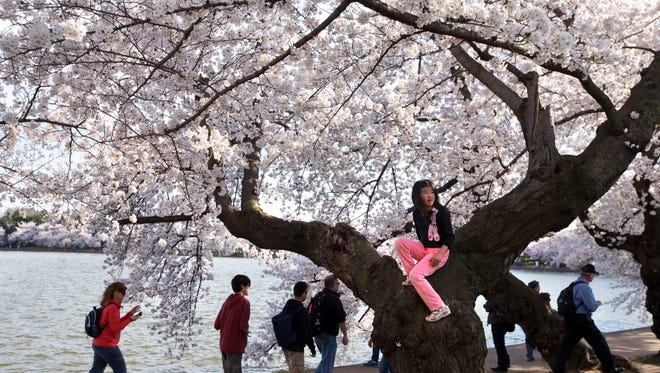 Elina Liu, 9, of McLean, Va., sits on a cherry blossom tree along the tidal basin in Washington on April 10.