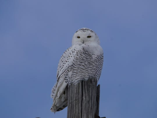 An overpopulation of arctic snowy owls is sending some