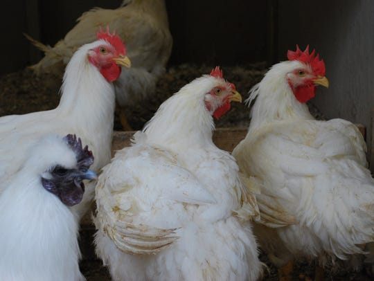 Chickens at Goffle Road Poultry Farm in Midland Park.