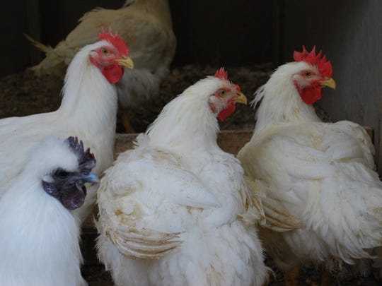 Chickens at Goffle Road Poultry Farm in Midland Park. PHOTO MEGHAN O'CONNELL Suburban News