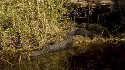 An alligator lounges in Fisheating Creek.