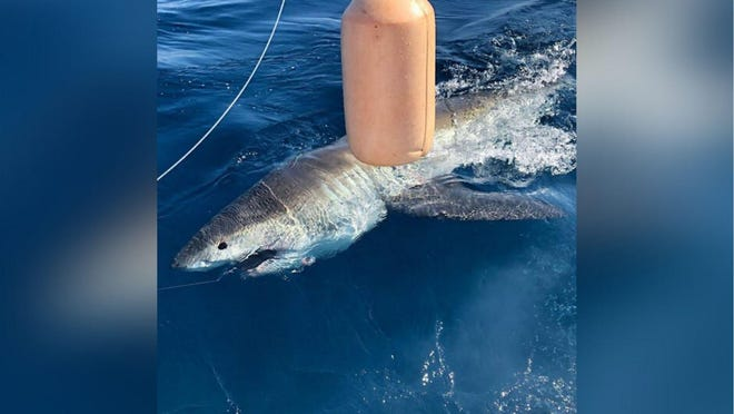 An estimated 13-foot long great white shark was caught, tagged and released New Year's Day by customers of Fishing Headquarters fishing charters out of Fort Lauderdale.