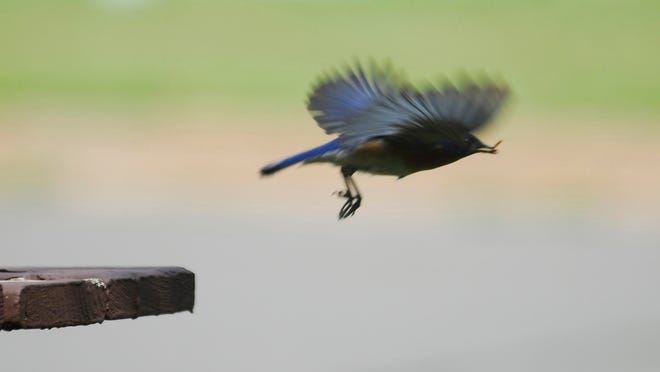 The bluebird heads for the nest box with a meal for its young.