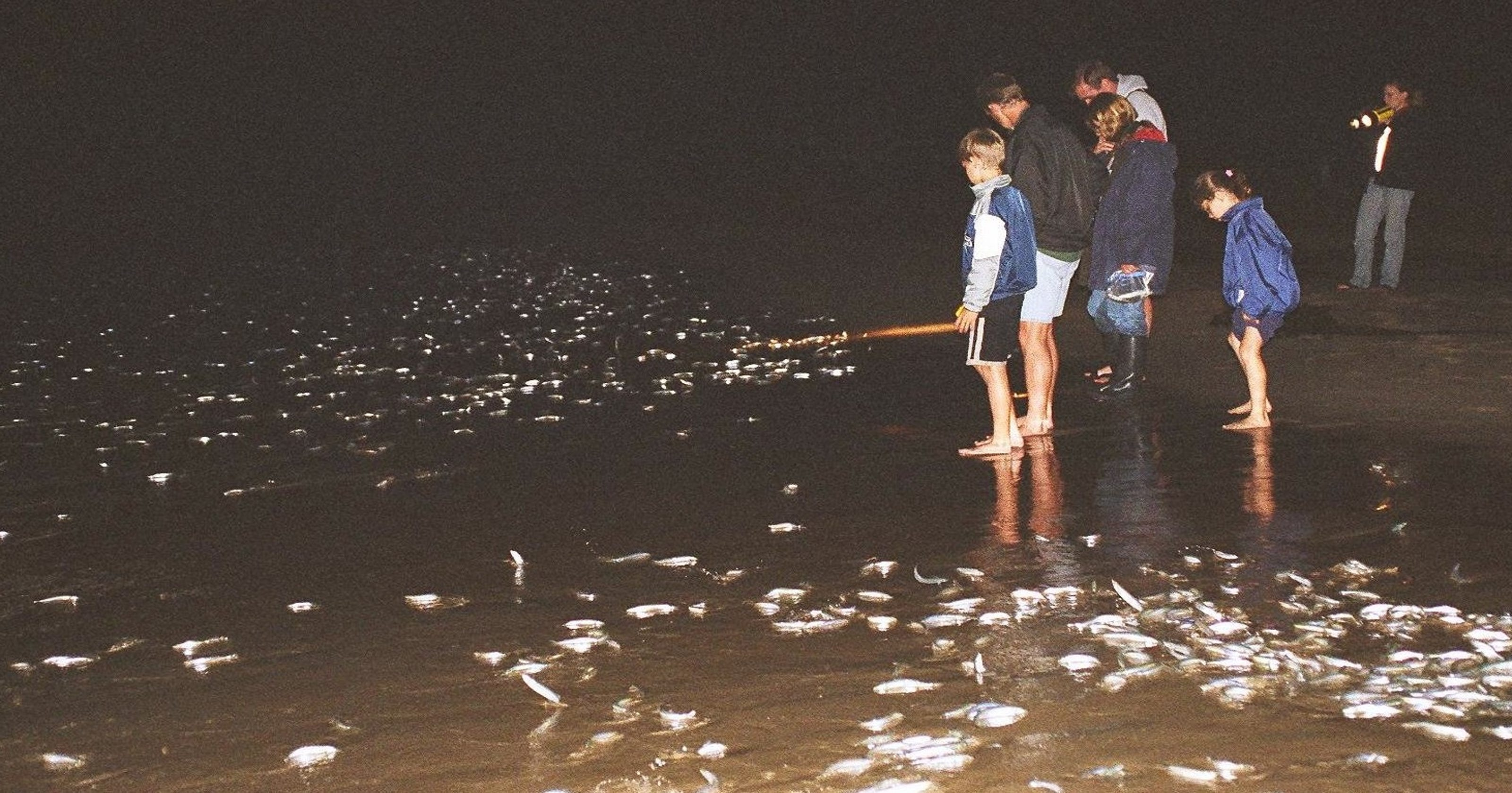 It's grunion run time on the Southern California coast