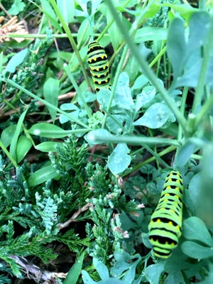 The caterpillar shown here later becomes an Eastern Black Swallowtail butterfly. Encourage them in your garden by choosing plants to attract pollinators.