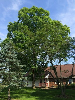 A mature pecan tree is shown on Biglerville Road in Gettysburg.