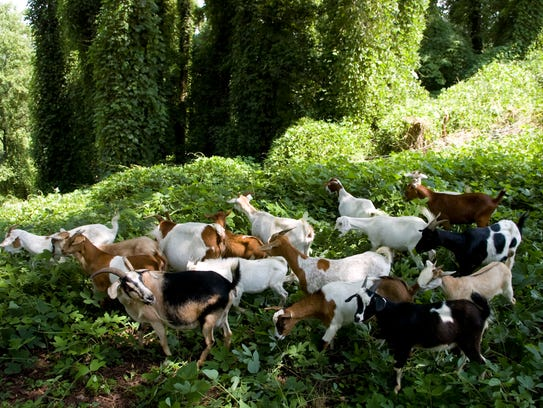 Goats graze on the kudzu at Fort Dickerson Park on July 25, 2010.