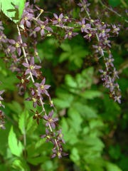 Yellowroot (Xanthorhiza simplicissima) makes an excellent woody groundcover with multiple stems covered in small, purplish-brown flowers in early spring.