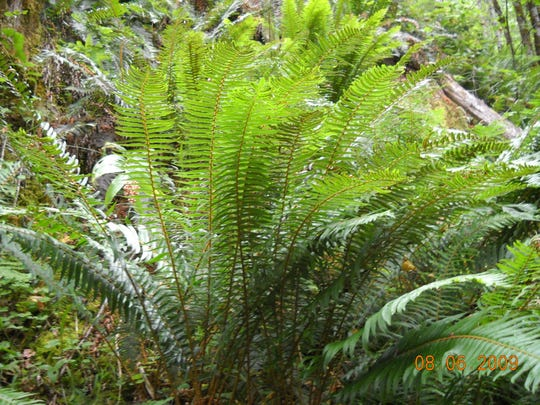 Sword fern grow in part sun to full shade.