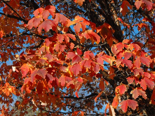 Its small stature and dazzling orange and red fall foliage makes paperbark maple a popular tree for any size garden.
