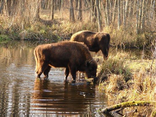 Bison drinking at Chernobyl.