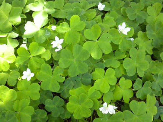 Oxalis or red sorrel