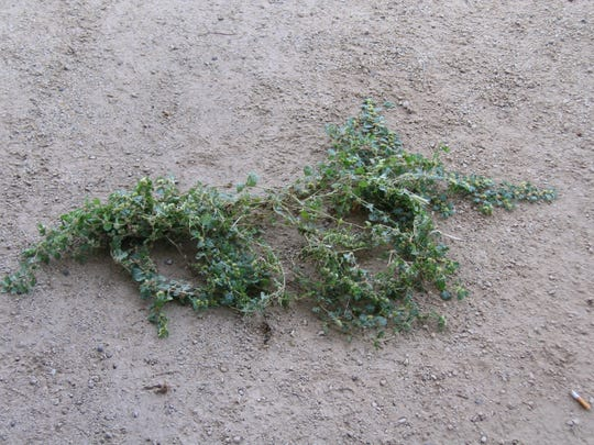 Khaki weed can grow quite large and has enough seeds to produce many more plants.