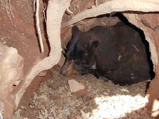 A black bear sow in her den. A hibernating black bear maintains a body temperature of about 95 degrees, allowing it to remain somewhat aware and to rouse quickly in the presence of danger.