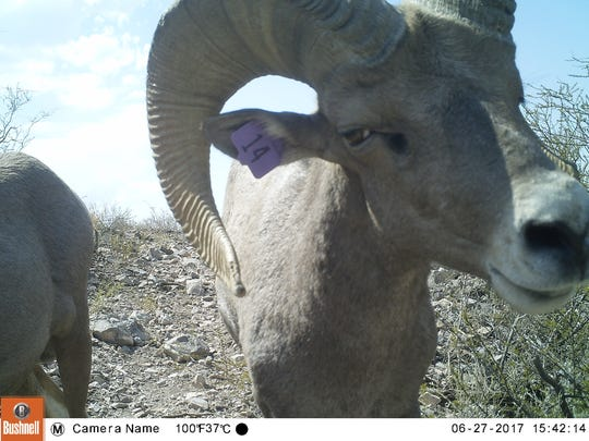 The trail cameras also reveal photos of desert bighorn