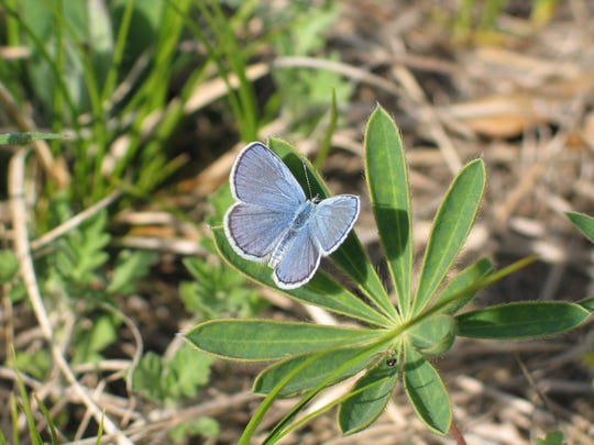 The Karner blue butterfly will only lay its eggs on
