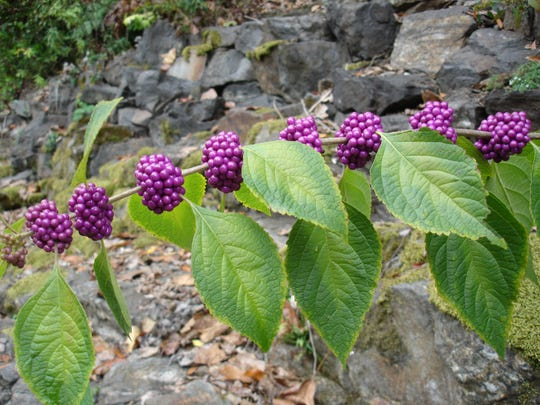 American beautyberry (Callicarpa americana) is an eye catching, 4-8' tall multi-stemmed shrub, that can take full sun and dry, acidic soils.