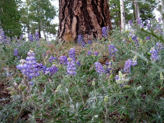 Wildflowers bloom along the North Rim's Widforss Trail