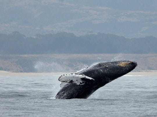 In this Monday, Aug. 7, 2017 photo, a humpback whale breeches off Half Moon Bay, Calif.