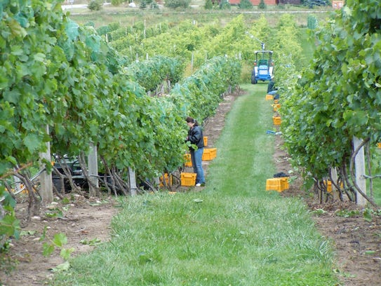 Workers harvest grapes at Parallel 44 Vineyard & Winery