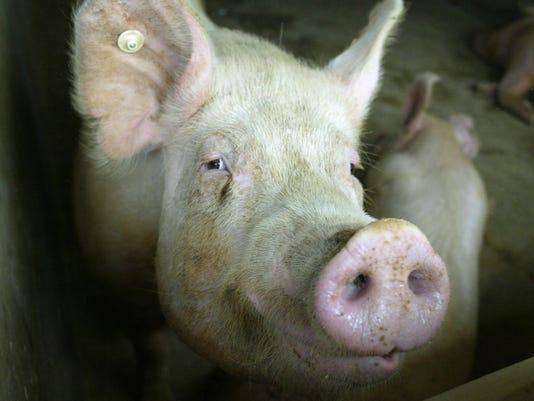 635918570460058213-Pig-pic.jpg
