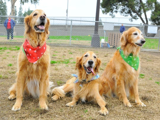 Golden Retriever CubbyBear who has congenital disease affecting his front legs had his 9th birthday with his family and friends at Codey Kelly Bark Park on January 14, 2017. In the Red Jax and Sunny in the green.